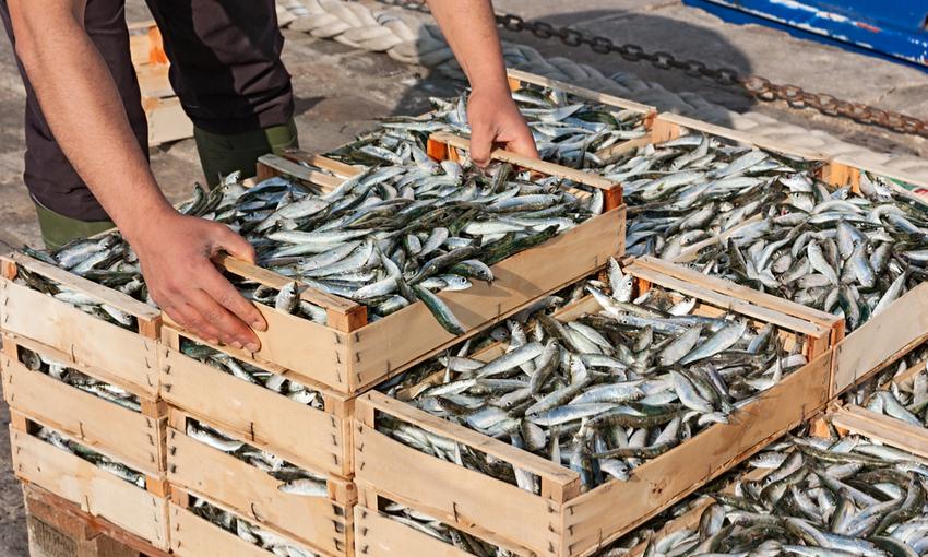 pesca sardine