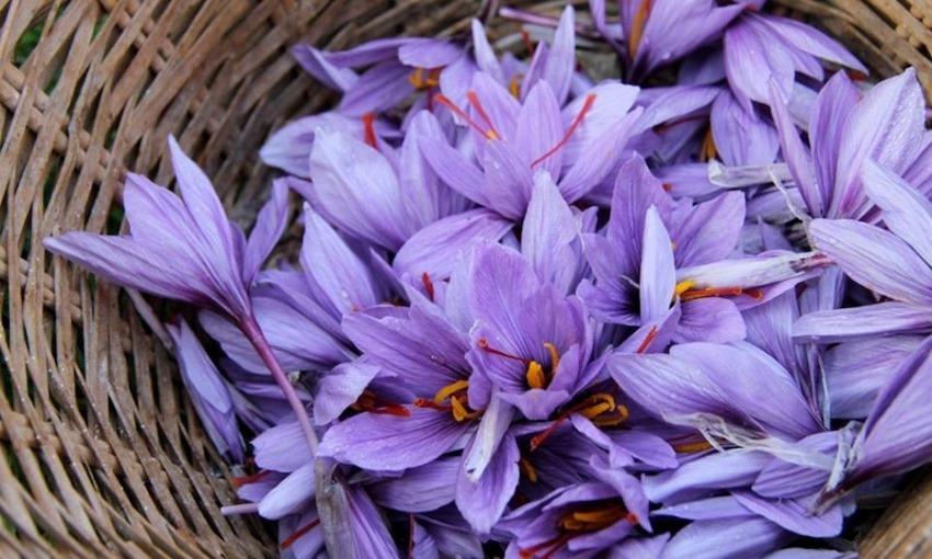 raccolta fiori zafferano