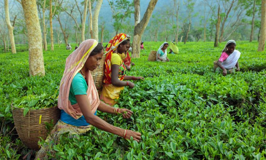 raccolta tè