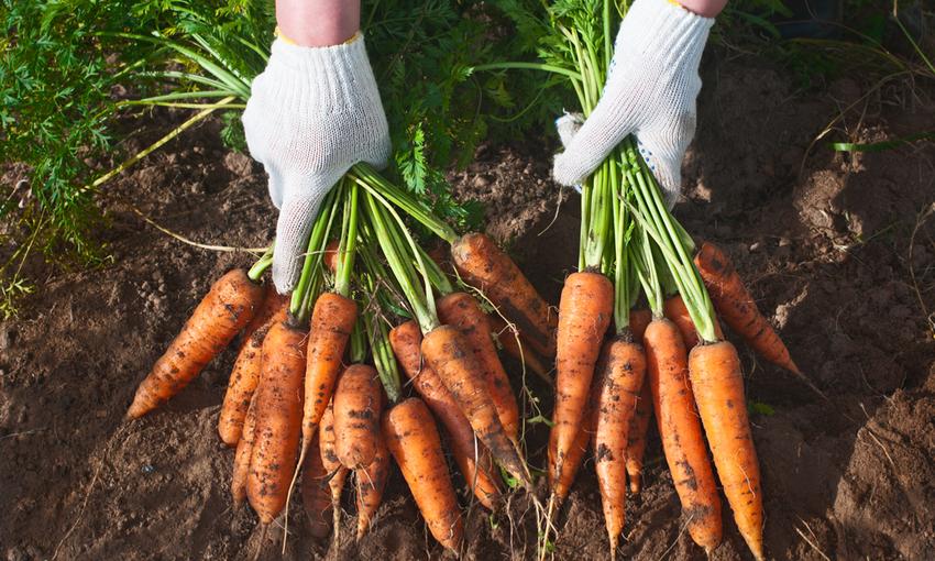 carote raccolta