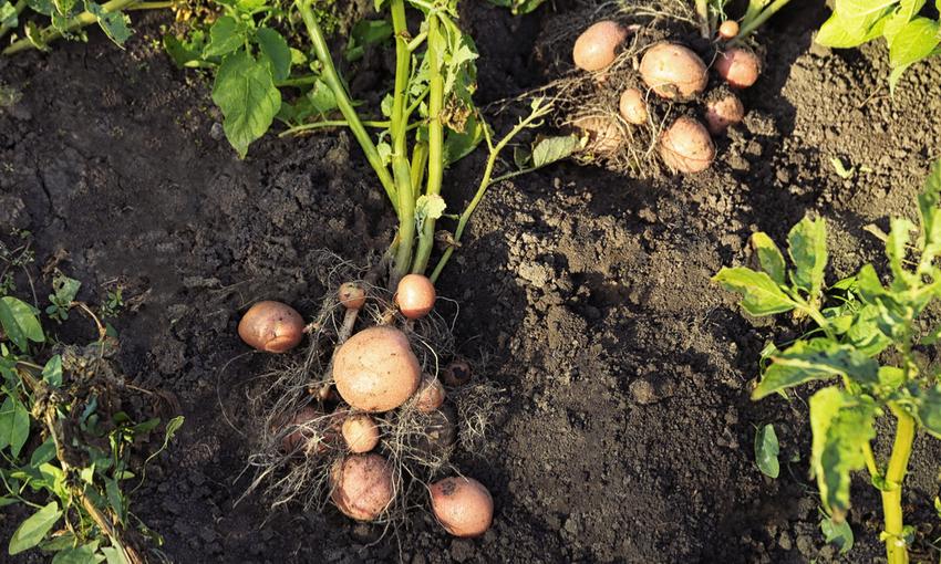 patate pianta