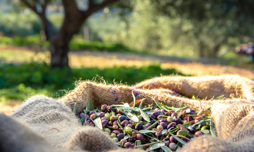 raccolta olive calo produzione olio