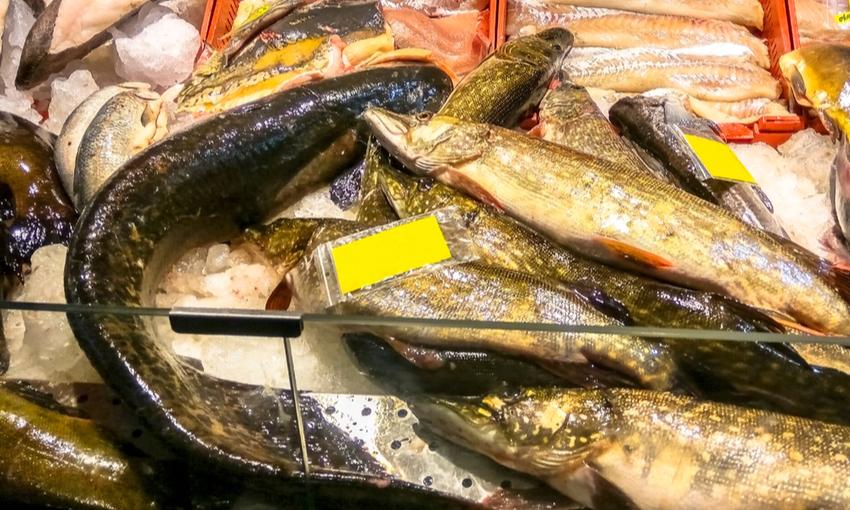 vendita pesce siluro