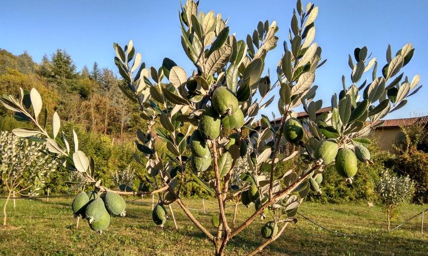 feijoa albero