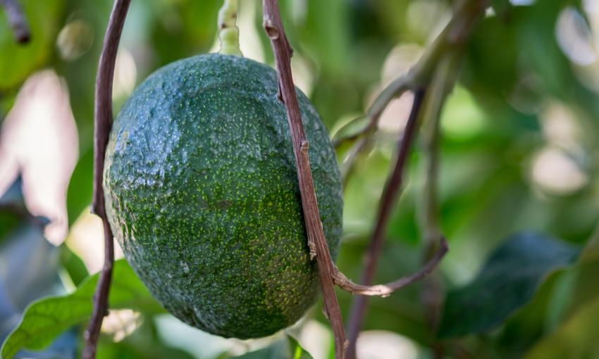 impronta idrica avocado