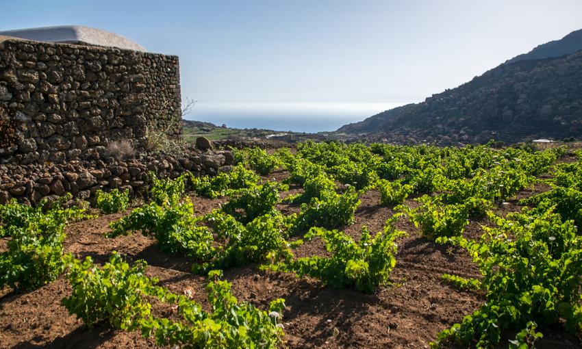 viti pantelleria