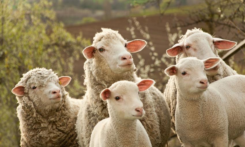 allevamento ovini