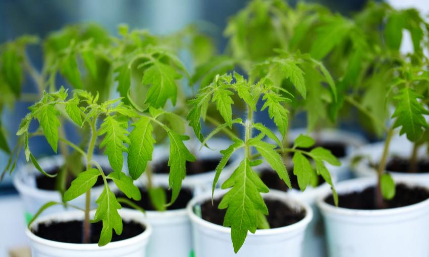 pomodori piante