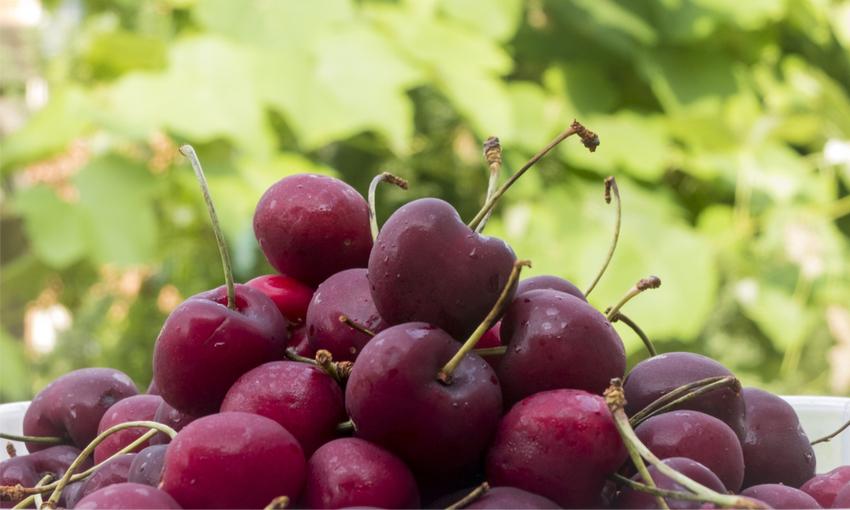 tipologie ciliegia di vignola