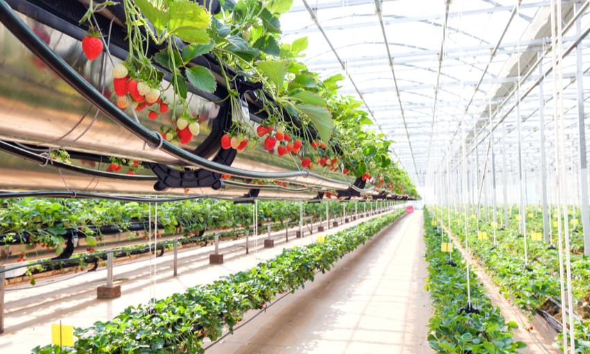 vertical farm fragole