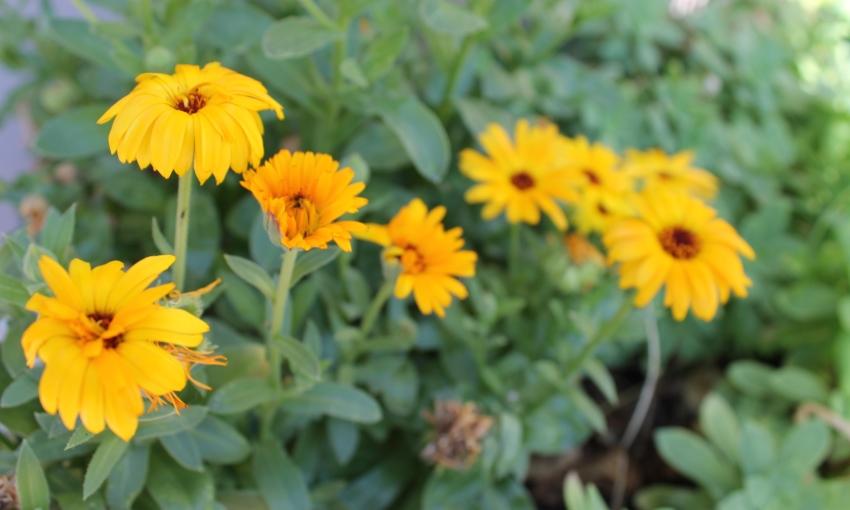 fiori luglio