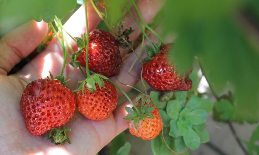 raccolta fragole luglio