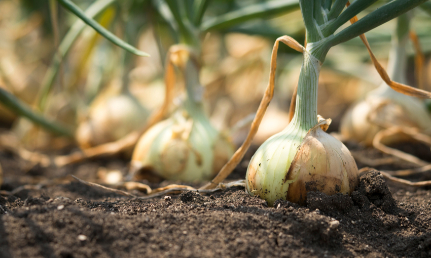 coltivazione cipolla di medicina