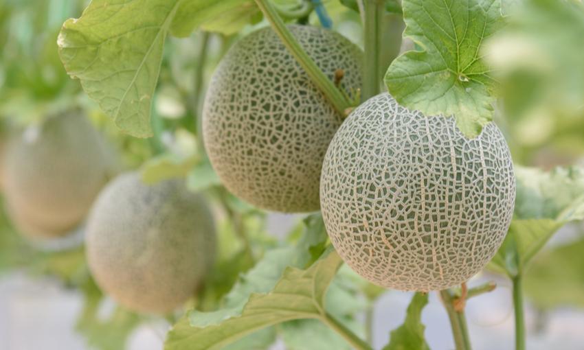 caratteristiche melone