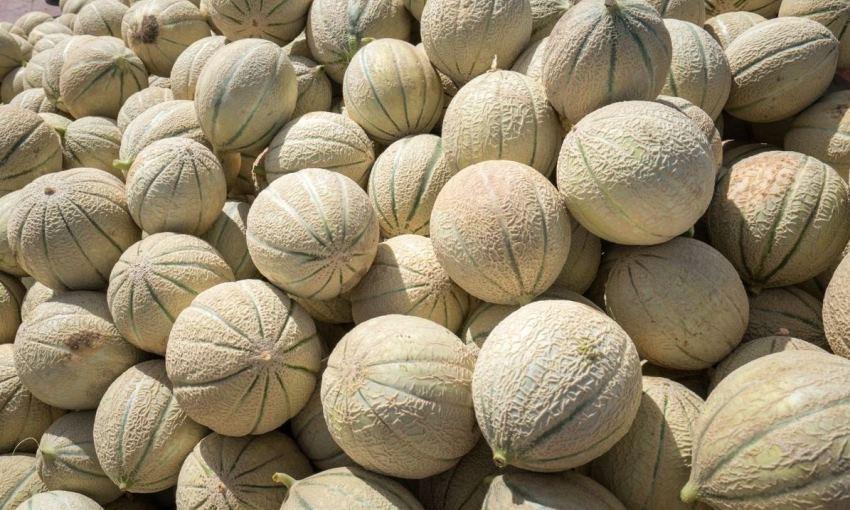 coltivazione melone