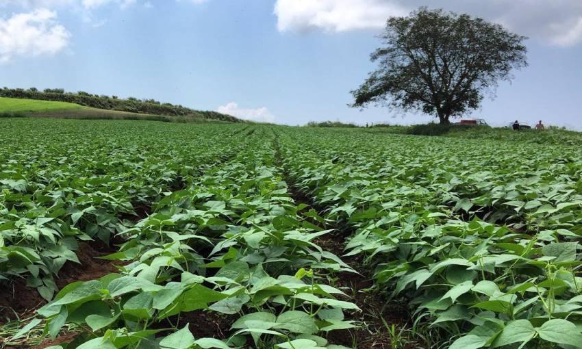coltivazione sujaca di caria