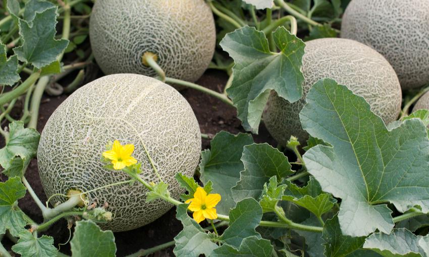 produzione melone mantovano