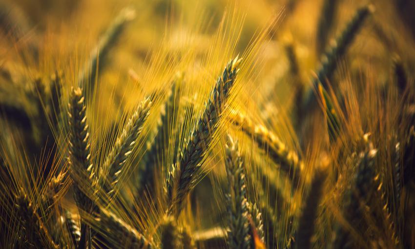 produzione orzo cereale