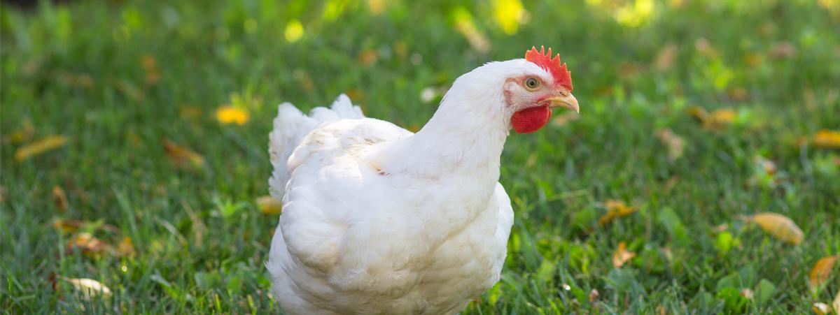 gallina bianca all'aria aperta
