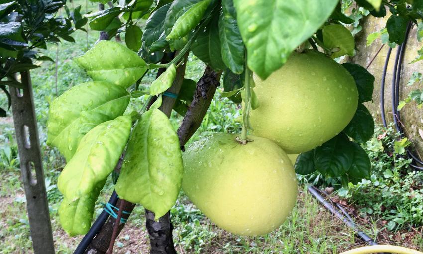 faustrime-frutto