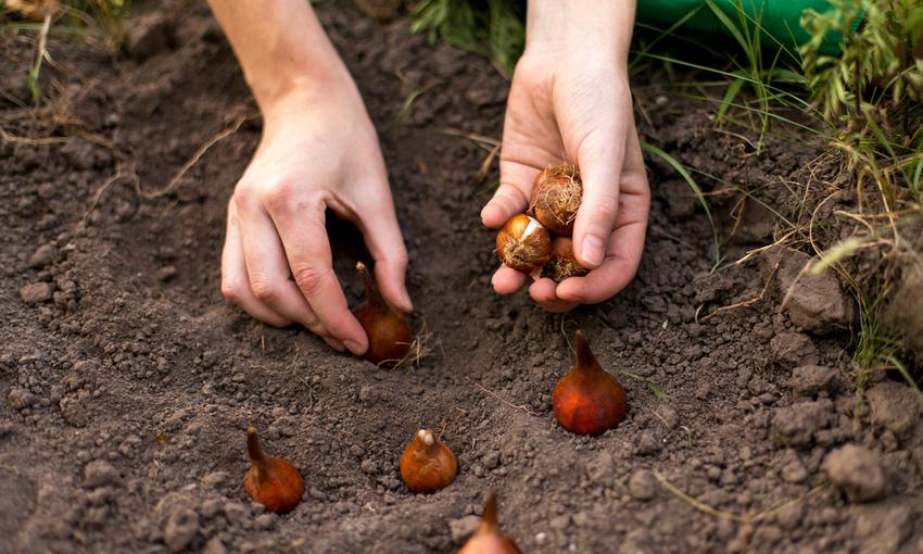 bulbi da piantare in giardino