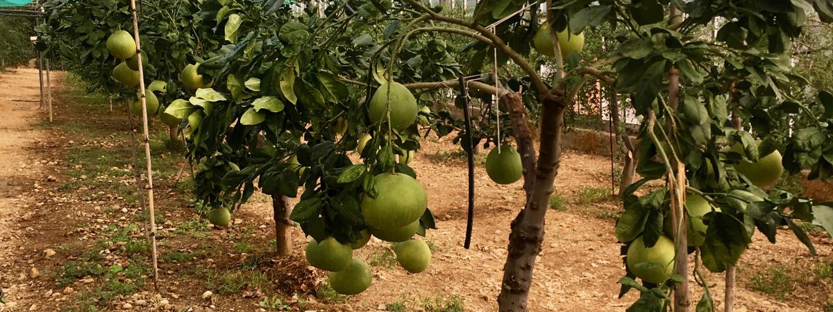 caviale di limone