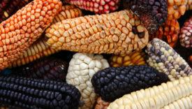 varietà di mais