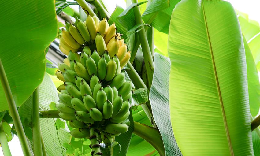 casco di banane acerbe