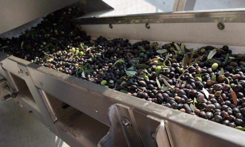 olive in lavorazione