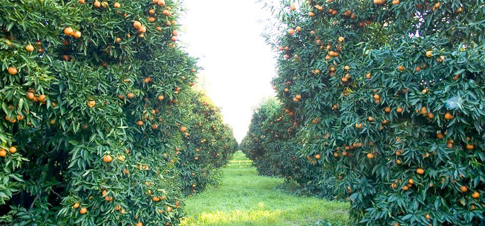 alberi di clementine