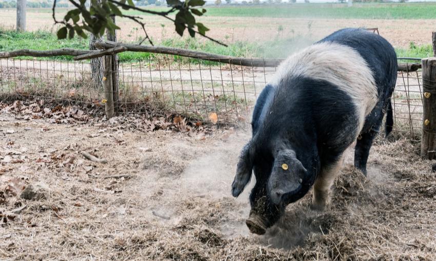 maiale di razza cinta senese
