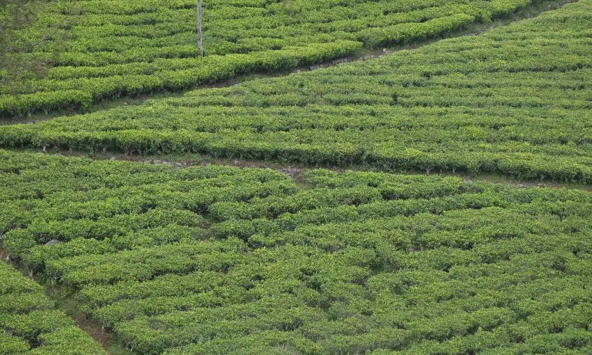 campi tè srilanka