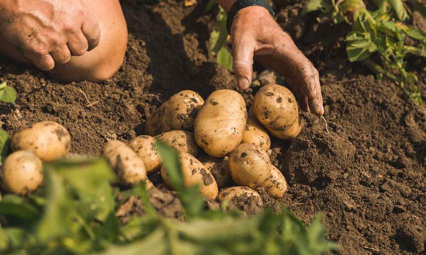 patata di bologna caratteristiche