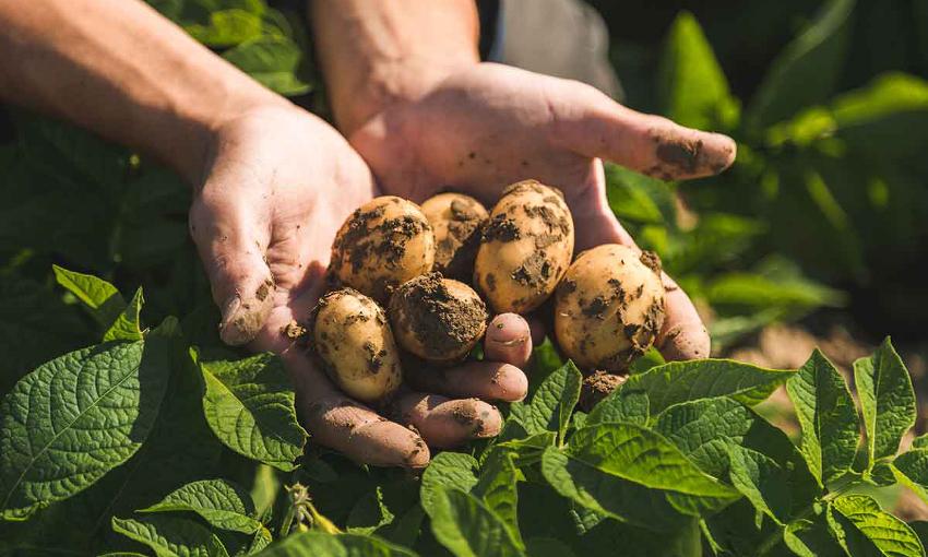 patata di bologna produttori