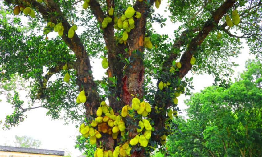 jackfruit pianta