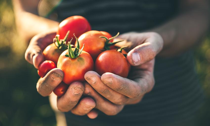 pomodori raccolto