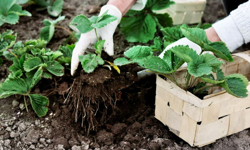 raccolta piante