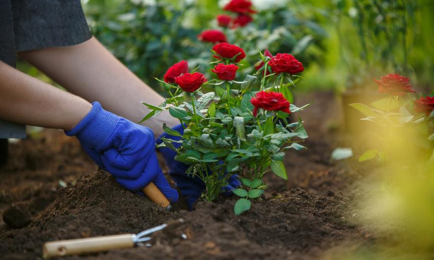 rose eduli