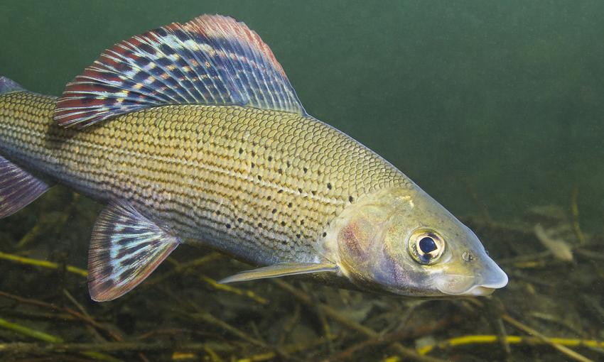 Pesce temono