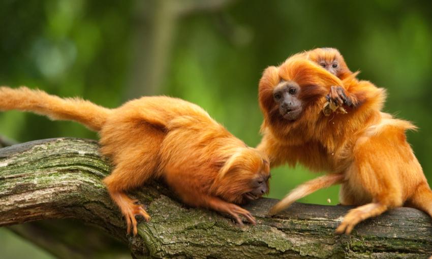 Scimmia leonina