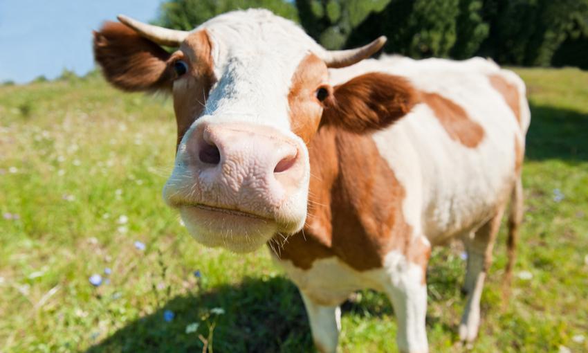 Progetto Adotta una mucca