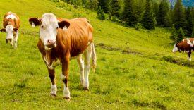 Adottare una mucca