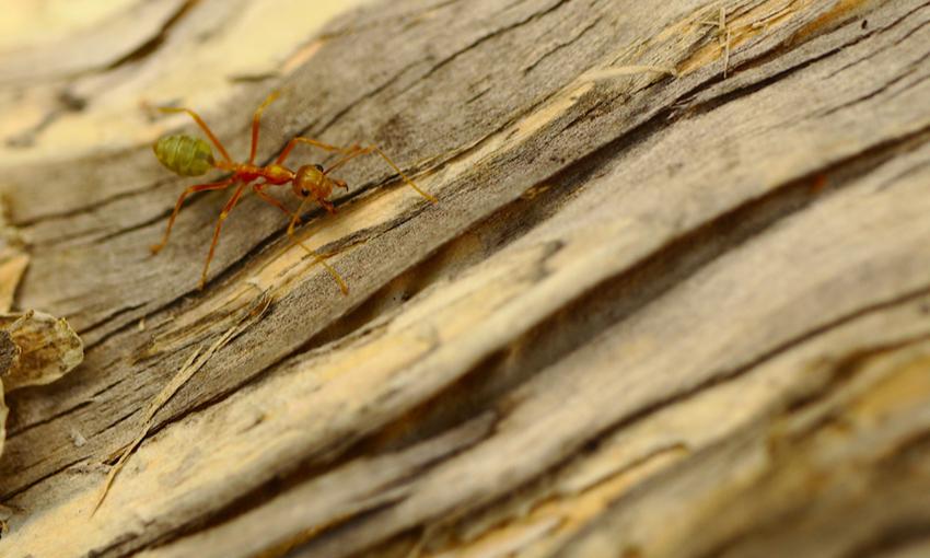 Green Ant Australia