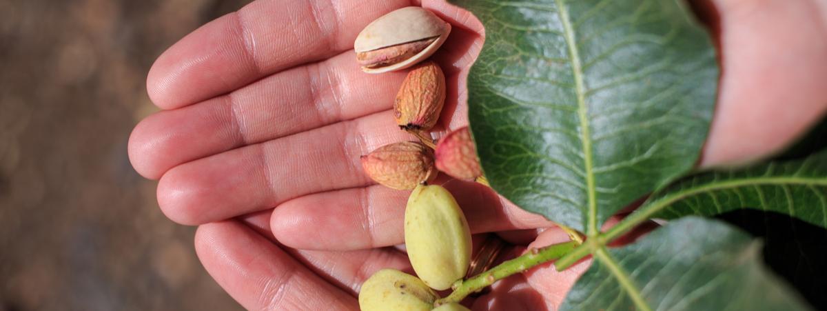 Fustùq adotta un pistacchio