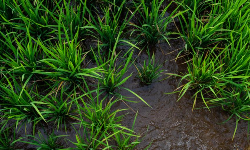 Arsenico coltivazione riso