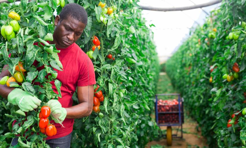 Raccolta di pomodori braccianti
