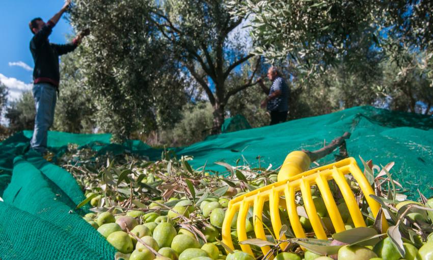 Raccolta olive tradizione