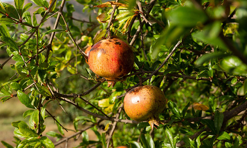 Food forest Sicilia specie