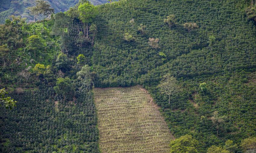 deforestazione caffè