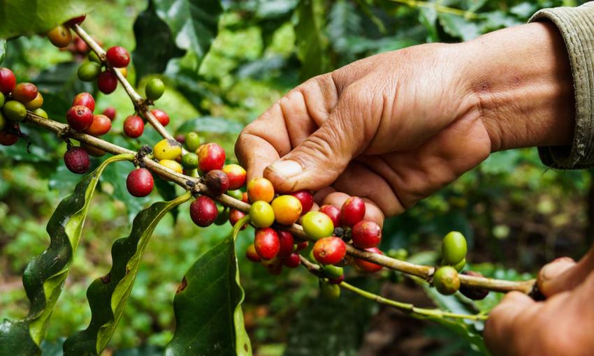 raccolta caffè deforestazione